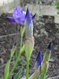 Iris buds ready to bloom