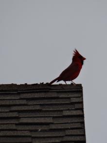Red Bird I