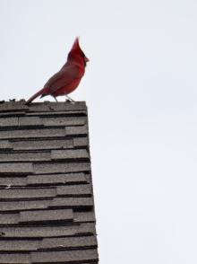 Red Bird II